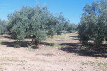 Olive Grove, near Cordoba, Spain