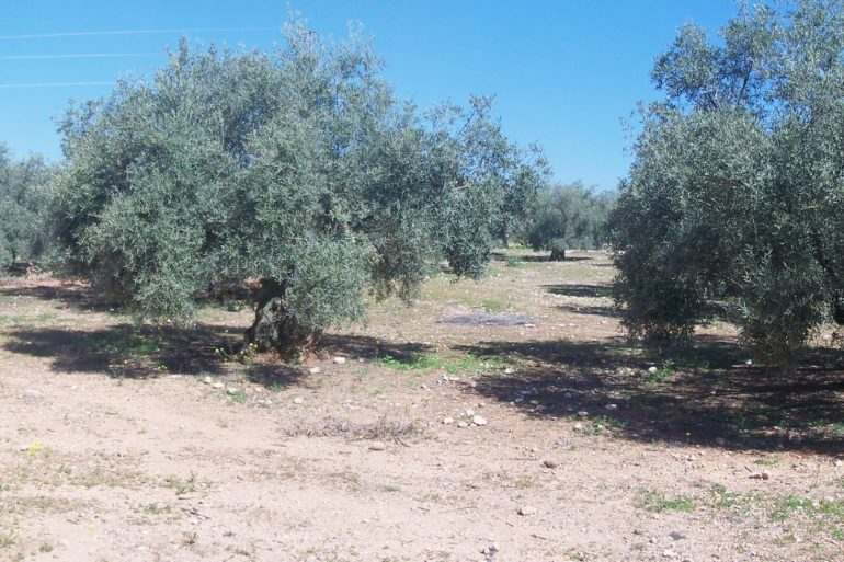 Olive Grove, near Cordoba, Spain