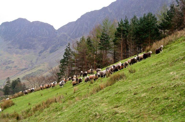 Fell shepherding in the