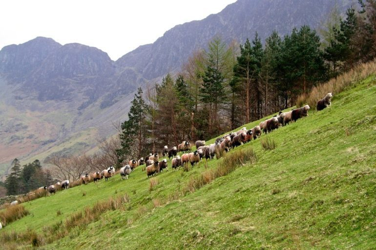 Fell shepherding in the