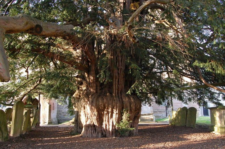 Yew trees give a fairytale like feeling.