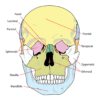 Image of a human skull for illustration purposes. For images of the reconstruction, visit the National Geographic website and Live Science website