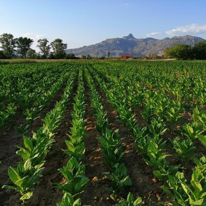 Tobacco fields in Prilep, Macedonia.