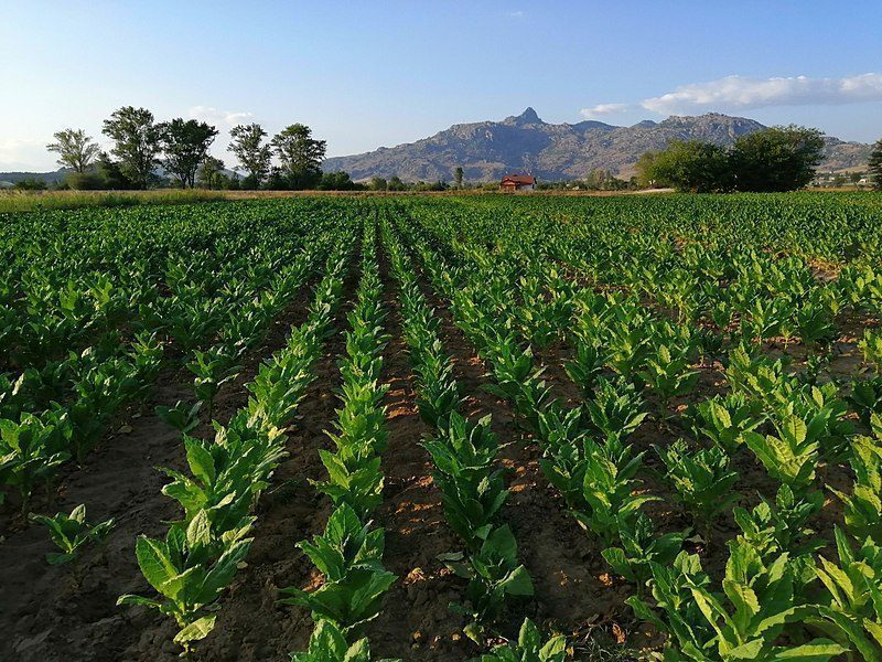Tobacco fields in Prilep, Macedonia.